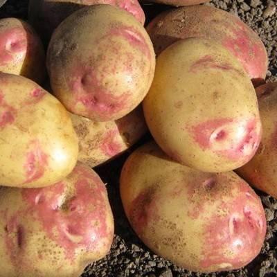 Картофель иван-да-марья: урожайный кормилец на грядке