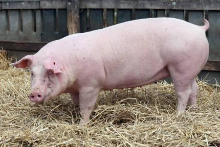 Породы свиней – описание, фото и видео
