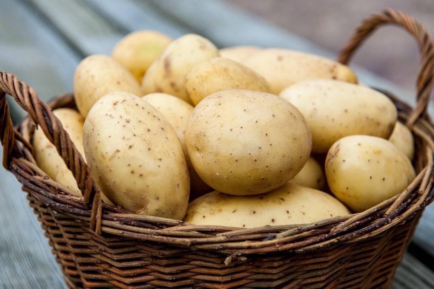 Сорт картофеля «ривьера» – описание и фото