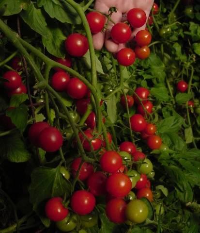 Пасынкование и формирование томата Черри в теплице