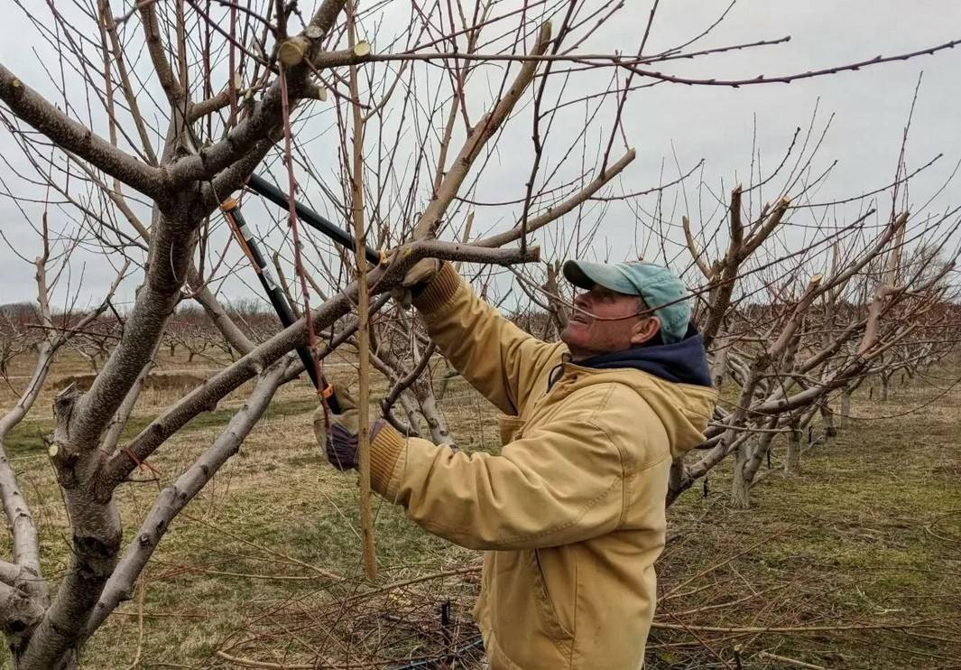 Как обрезать персик весной