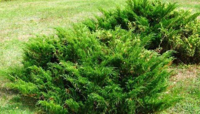 Выращивание куста айвы японской в подмосковье, посадка и уход, описание сортов