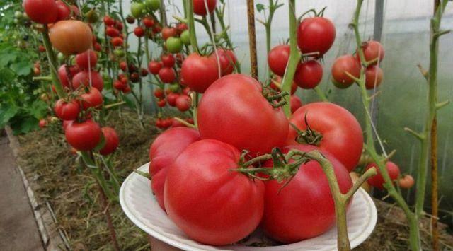Сорт томата «оранжевое чудо»: фото, отзывы, описание, характеристика, урожайность