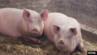 Что такое африканская чума свиней
