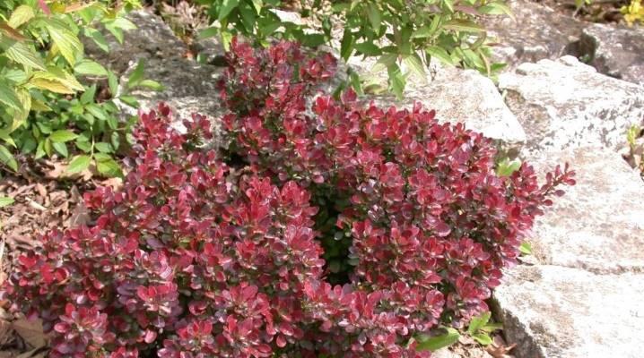 Барбарис тунберга ауреа: описание + посадка и уход за растением