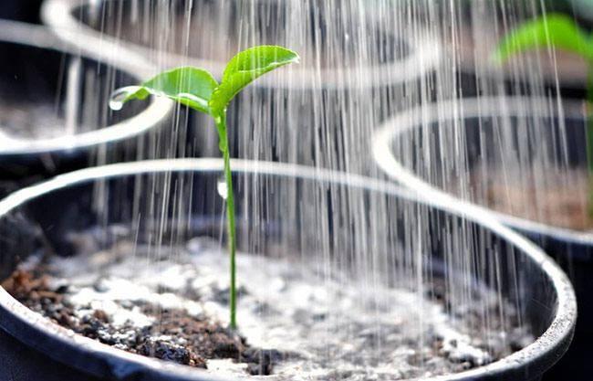 Перекись водорода для рассады томатов: применение, опрыскивание
