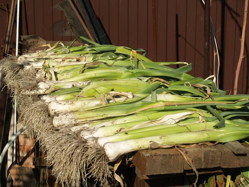 Лук порей карантанский: характеристика и описание сорта, выращивание и уход
