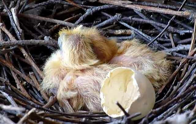Где можно найти маленьких птенцов голубя и как выглядят детеныши, фото