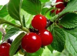 Войлочная вишня: сорта для подмосковья