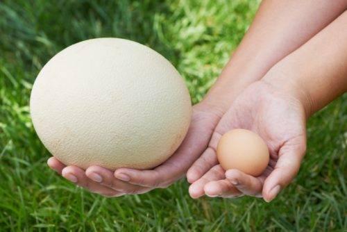 Egg guru — первый про яйца. на размер яйца влияет не только размер курицы-несушки