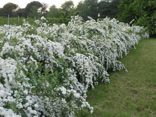 Спирея: 89 фото внешнего вида и особенности выращивания различных разновидностей