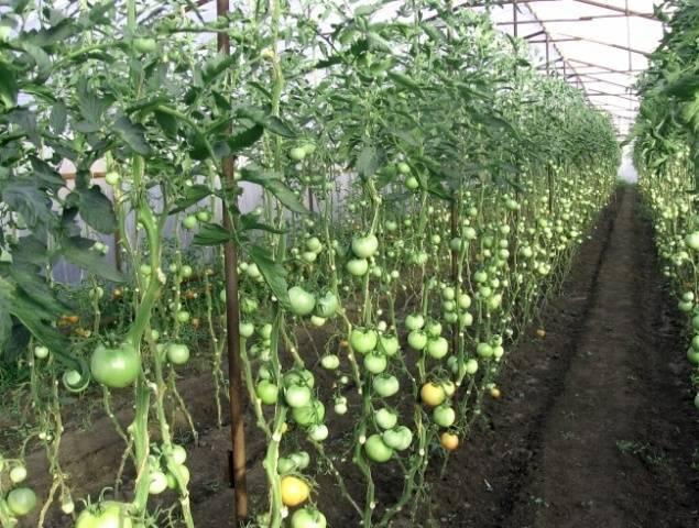 Формирование помидор в два стебля