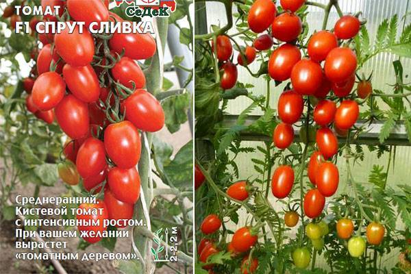 Характеристика и описание томата сорта «спрут f1»: выращивание в открытом грунте