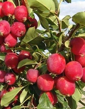 Яблоня китайка: описание, популярные сорта керр, белфлер, польза и вкус плодов, схема посадки, правила ухода, сбор и хранение урожая, рецепты блюд