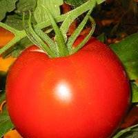 """Томат """"челнок"""": характеристика, описание, урожайность сорта, фото и видео, особенности выращивания помидор"""