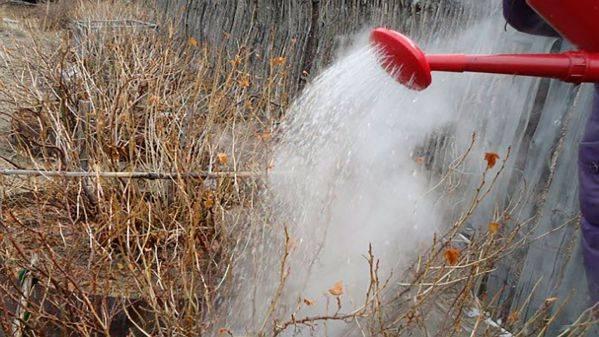 Как и когда поливать кипятком смородину весной. дедовские способы ухода за смородиной весной. | красивый дом и сад