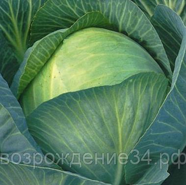 Капуста сорта глория: особенности и характеристика, плюсы и минусы, агротехника посадки и выращивание, фото