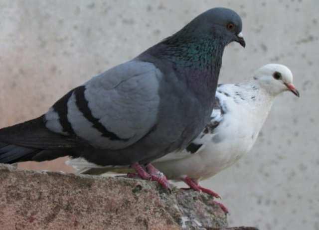 Сизый голубь  фото, описание, ареал, питание, враги