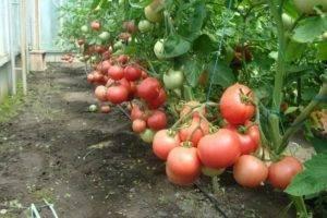 """Томат """"аврора f1"""": описание сорта, рекомендации по уходу и выращиванию, применимость плодов-помидор"""