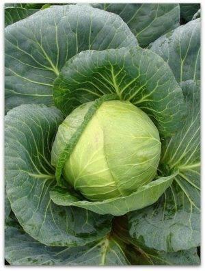 О капусте тобия: описание и характеристики сорта, посадка, уход, выращивание