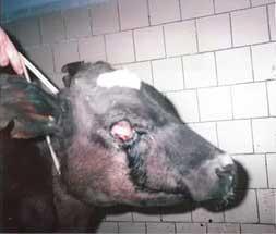 Клостридиоз крупного рогатого скота: клинические признаки, лечение, профилактика