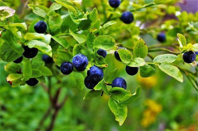 Черника в воронежской области: полезные свойства, где растёт и собирать, фото