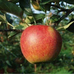 Яблоня беркутовское: описание сорта, фото, отзывы садоводов