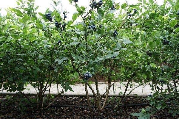 Сорта голубики – нортланд. выращивание на приусадебном участке