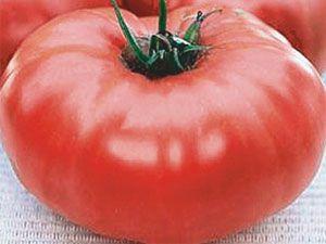 Король ранних — томат скороспелый и крупный