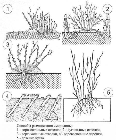 3 эффективных способа размножения смородины