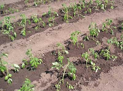 Когда можно сажать помидоры в открытый грунт: советы специалистов