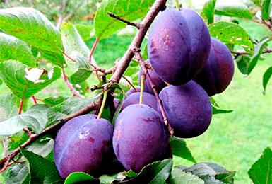 Слива венгерка корнеевская: описание сорта и фото, селекция, особенности посадки и выращивания
