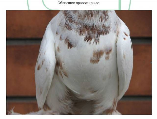 Сальмонеллез телят и взрослых особей крс: обзор болезней
