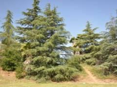 Кедр гималайский (49 фото): описание кедра деодар и его шишек. характеристики сортов «филинг блю», «голден горизонт» и других