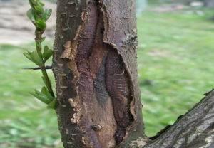 На молодой яблоне трескается кора: что делать, почему это происходит, лечение и профилактика
