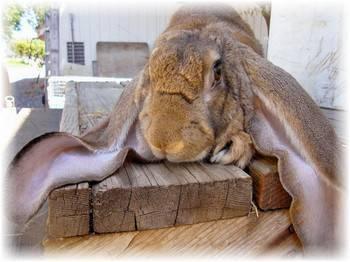 Как проводится лечение ушного клеща у кроликов народными средствами и медицинскими препаратами