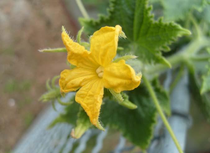 Огурцы темп f1: описание и выращивание сорта