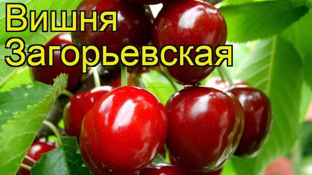 Вишня «загорьевская»: особенности выращивания и уход