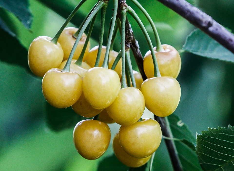 Черешня желтая — описание сорта, фото, отзывы садоводов