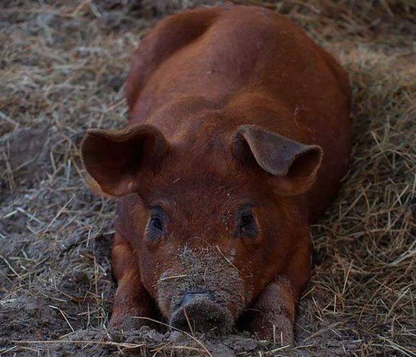 Свиньи пьетрен: описание породы, особенности выращивания и кормления