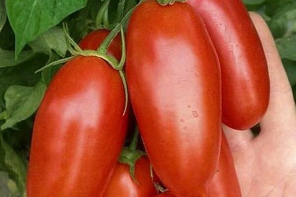 Томат «дамские пальчики»: описание сорта, особенности выращивания и ухода