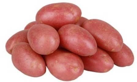 Характеристика сорта картофеля ред леди — теория и практика