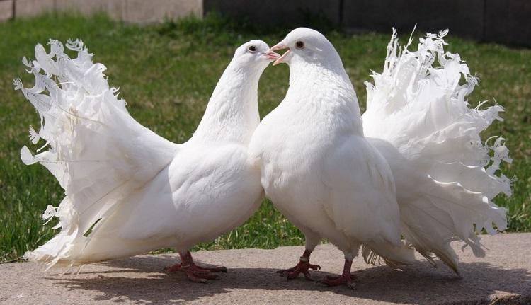 Породы мясных голубей с фото и описанием