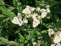 Бирючина обыкновенная посадка и уход бирючина блестящая, овальнолистная и другие виды с фото. кустарник бирючина