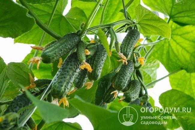 Лучшие сорта огурцов с пучковой (букетной) завязью: самоопыляемые для теплицы и пчелоопыляемые для открытого грунта