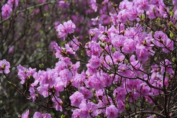 Особенности выращивания рододендрона на урале