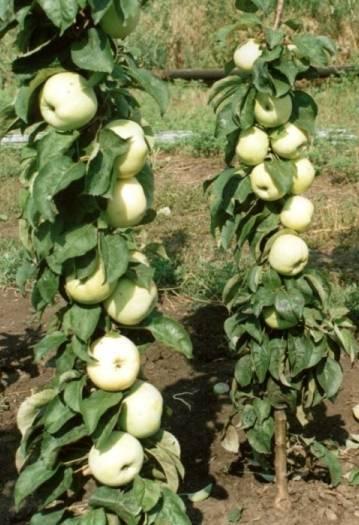 Особенности выращивания колоновидной яблони сорта васюган