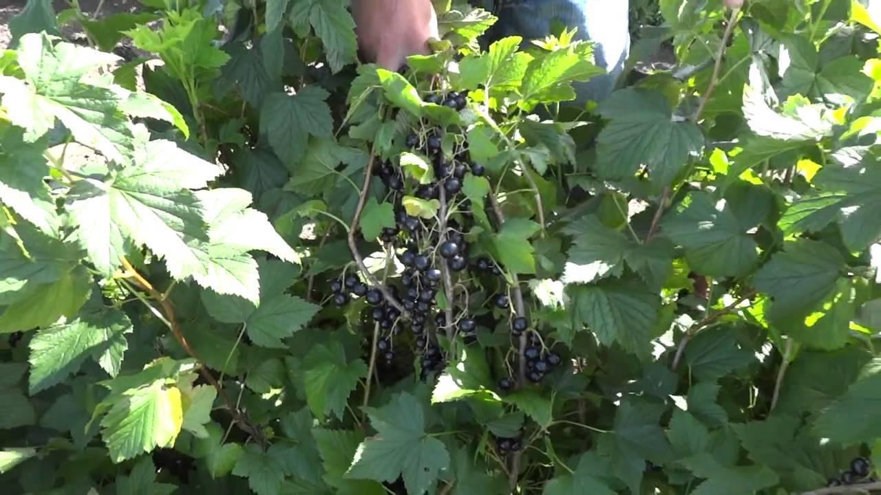 Смородина чёрная чернавка — основные характеристики