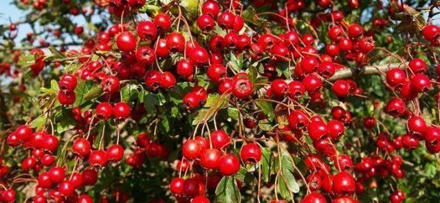 Целебные свойства боярышника кроваво-красного