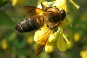 Кто такая медоносная пчела?